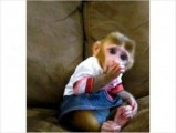 lovely and outstanding Capuchin baby monkey for adoption
