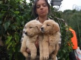 كلاب جولدن ريتريفر للبيع