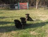 كلاب جيرمان شيبرد بيور