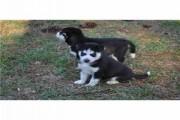 Registered Siberian Husky puppies For Aoption