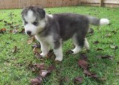 AKC, English HUsky , 12weeks old, Bes Present Ever