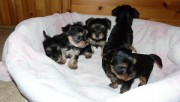 Yorkie Puppies Available For Re homing