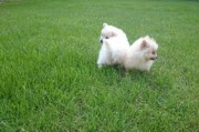 Lovely Pomeranian Puppies for Re-homing