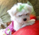 Tea Cup Maltese Pups all white ready now for good home