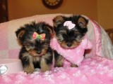 Yorkshire Puppies for Re-homing