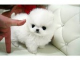 Super Cute Tiny Tea Cup Male and Female  Pomeranian Puppies  Ava