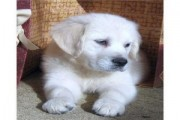 Golden Retriever puppies available for christmas