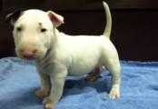 Loving Bull Terrier puppies*Hawaii*