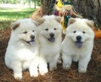 2 Well trained chow chow puppies Available
