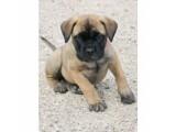 Wow Bullamastiff puppies for sale