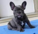 Frech bulldog puppies for X mass