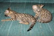 Two adorable F1 Savannah kittens available for re home