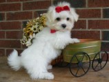 cute Maltese Tea cup A.K.C Registered ready for rehoming