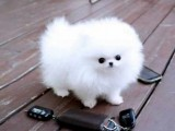 Lovely Tea Cup Pomeranian Puppies