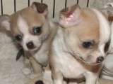 Gorgeous Male/female Chihuahua Puppies