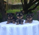 Litters of male and female Teacup Yorkie puppies available