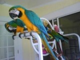 Tamed and Talking Macaw Parrots for sale