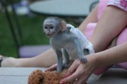 good temperment and lovely baby monkeys for free adoption,   Tam