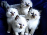 Gorgeous Birman Kittens For Sale