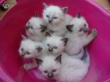 ADORABLE BIRMAN KITTENS FOR SALE