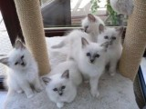 A beautiful, affectionate, Male and Female Birman Kittens For Sa