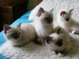 champion Birman Kittens For Sale