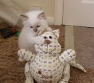 Two Birman Kitten Available for Adoption