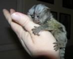 Cute mamorset monkeys good for adoption