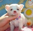 home trained chihuahua puppies ready for re-homing...