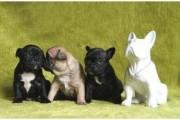 Precious French Bulldog Puppies for sale