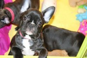 English and French Bullies Puppies With Champion Lines