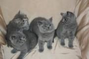 British Short Haired Cats
