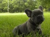 French Bulldog puppies for pet lovers