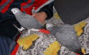 congo african grey parrots for sale