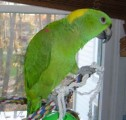 Hand Tame Baby Parrots and Fertile Parrot Eggs for sale