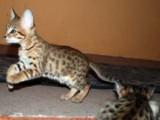 3 Lovely Savanah kittens for re-homing..for sale