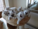 birman kitten available with health papers For Sale