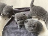 Sweet male and female British shorthair available for sale