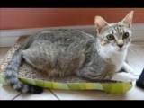 12 Weeks Old Tabby Kittens for sale