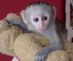 trained and good quality Capuchin monkey for a loving home for