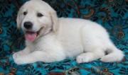 Female Golden Retriever puppies for sale