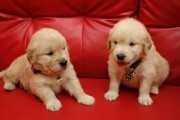 Beautiful Male and Female Golden Retriever Puppies For Sale