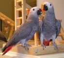 Healthy African Grey Parrots For Sale