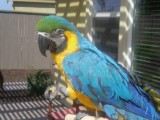 Macaw parrots good looking  for sale