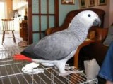 African Grey Parrots for Sale with Cages..