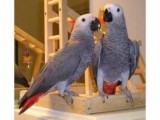 African grey Parrots Available .