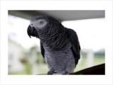 Grey Parrots