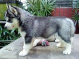 Excellent Blue Eyed Siberian husky  Puppies For Sale