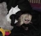 Usda Licensed Capuchin Monkeys Ready!!
