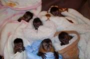 Intelligent Capuchin Monkey Babies For Good Homes